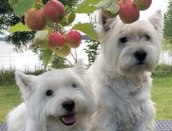 alla_omenapuun